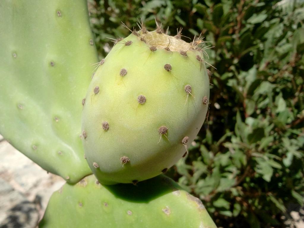 Cactusvijg - Kythira