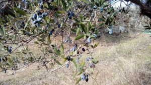 olijven plukken op Kythira
