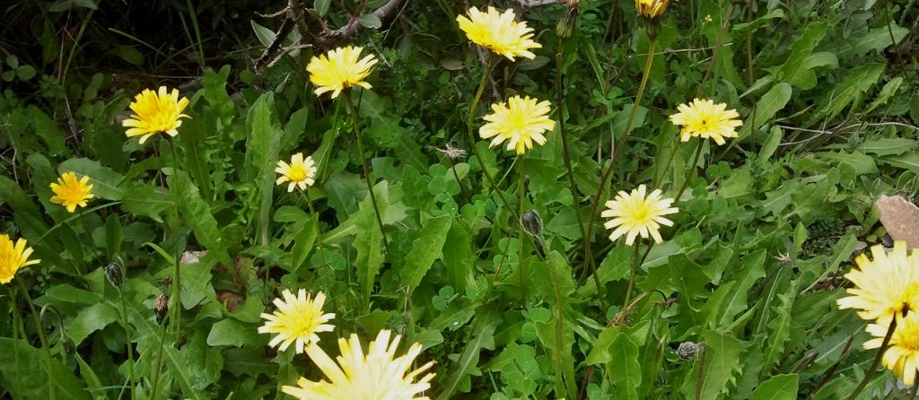 Eetbare wilde planten, Chorta Horta