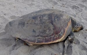 Zeeschildpad, caretta caretta