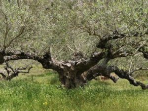 Olive picking in Kythira