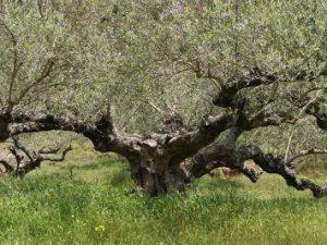 Olive picking in Kythira